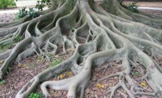 Bludný kořen: Způsobuje pomatení smyslů?