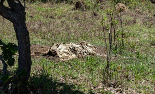 Nevysvětlitelné mrzačení dobytka: Tisíce zvířat skončily bez pohlavních orgánů
