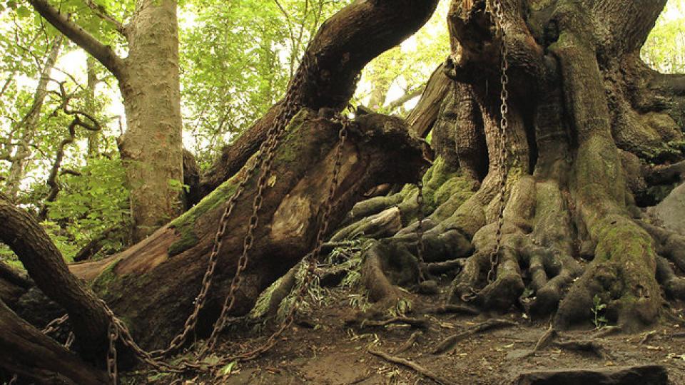 VIDEO: Dub, který museli spoutat řetězy: Legenda straší i po téměř dvou stoletích